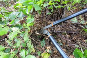 Using a lopper to cut close to the ground